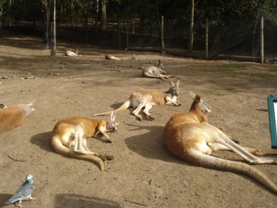 кенгуру в зоопарке Каррамбин