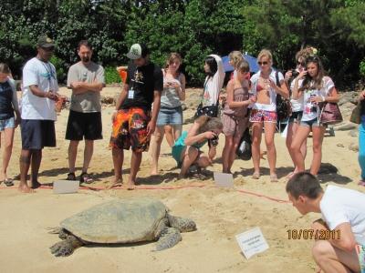 Морские черепахи не редкость на берегах острова Оаху