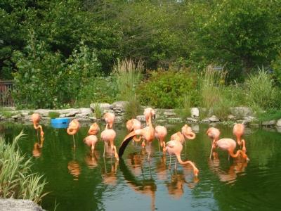 фламинго в парке сафари Торонто